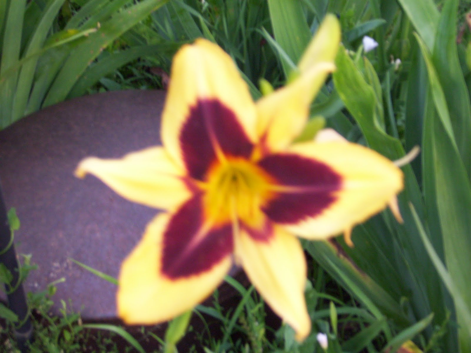 The eclectic scientist help there are flowers in my flowers 3 and 4 also look like day lilies and given the pictures from the day lily garden im going to say that day lily is the correct identification izmirmasajfo