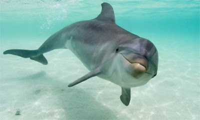 http://3.bp.blogspot.com/_j3fNHDfppIM/TMgnxa9it2I/AAAAAAAAAD0/XHbOd2UdnUk/s1600/bottlenose-dolphin1.jpg