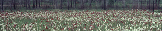White-topped pitcher plants, Packer Bog, Baldwin Co., AL