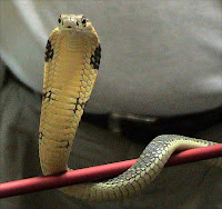 King Cobra curled around a pole, looking at you.