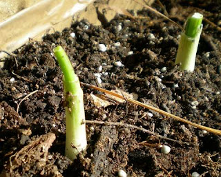 how to grow scallions from cuttings