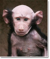 [Imagem: macaco+careca.jpg]
