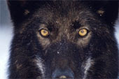 black wolf with yellow eyes - photo #6