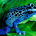 Blue Frog Free wallpapers