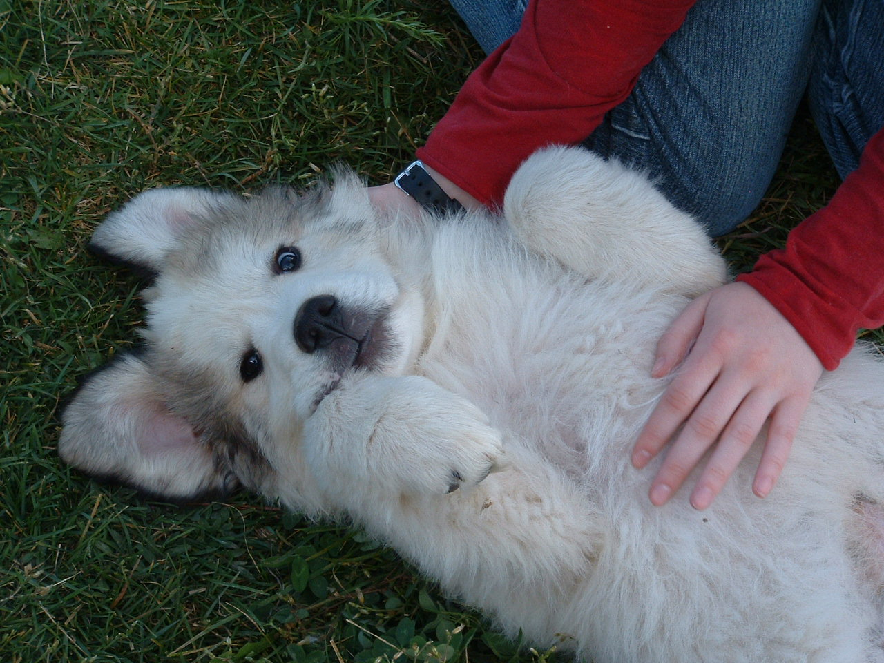 Rural revolution pregnant with puppies but if anyone is interested in a great pyrenees puppy let the folks at agape ranch know theyll be taking deposits when the puppies are born fandeluxe Image collections