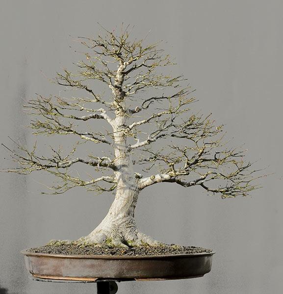 walter pall bonsai adventures japanese maple in winter rh walter pall bonsai blogspot com Bloodgood Japanese Maple Dwarf Japanese Maple
