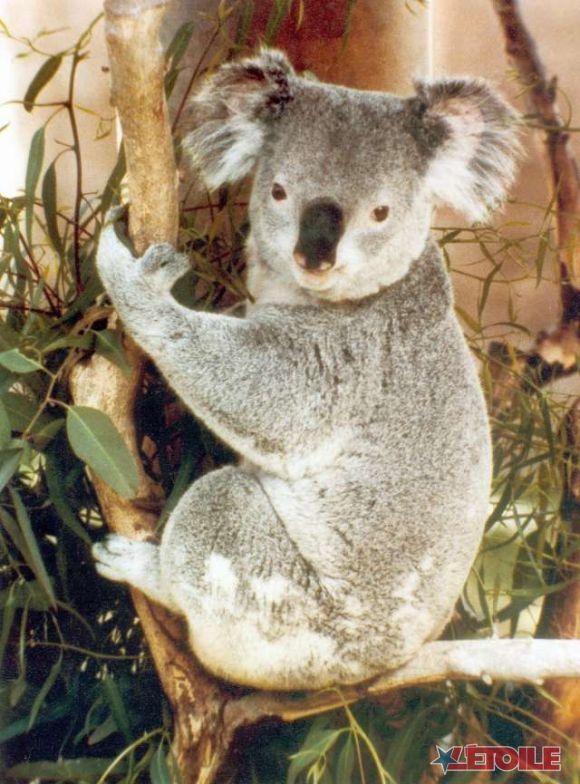 http://3.bp.blogspot.com/_jIzrK2aYtTc/S910BnqRbKI/AAAAAAAAAVM/PU2K0vglfVI/s1600/koala101.jpg