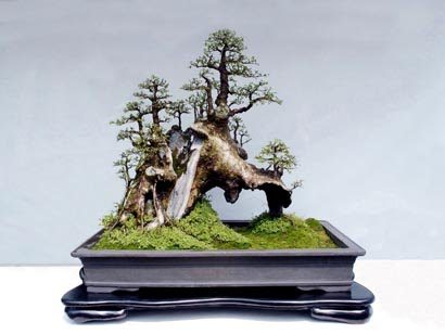 beauty japanese bonsai tree