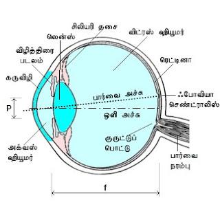 கண் - Anatomy  Eye+light