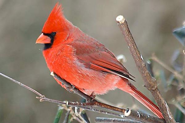 http://3.bp.blogspot.com/_jNRUbCNVCyk/TUP7mb4z72I/AAAAAAAAA6U/CV105fHwCdo/s1600/red_cardinal-bird1.jpg
