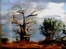 Baobab de tienda