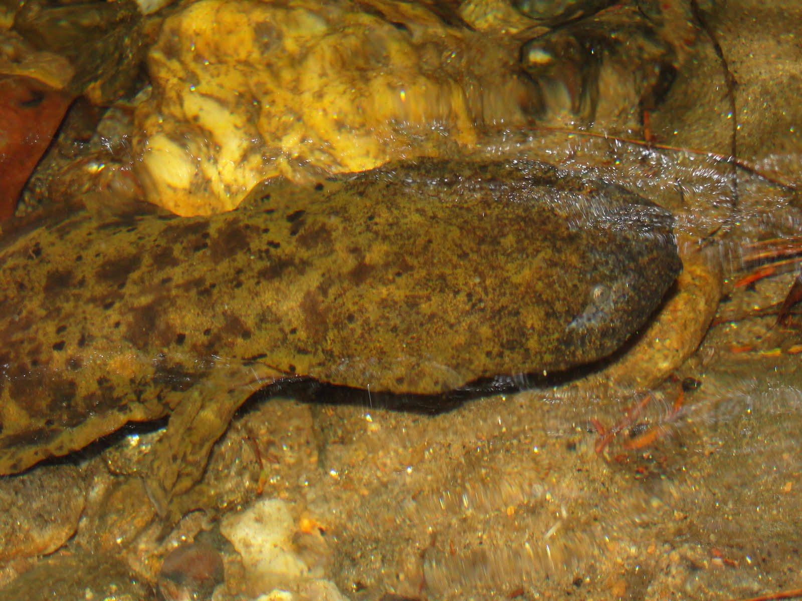 Eastern Hellbender ( Cryptobranchus alleganiensis alleganiensis )