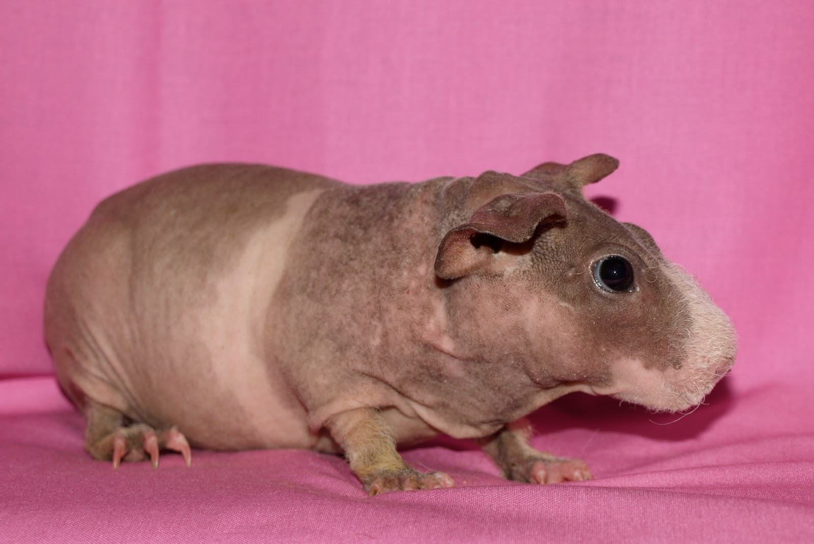 Piggy Junction: Our Skinny Pig Sows