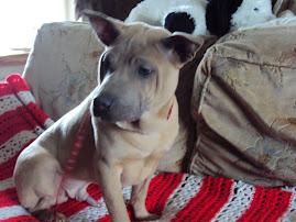 Thai Ridgeback male puppy