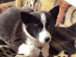 Cinnabear's female Karelian Bear Dog puppy