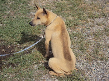Golden Fawn Thai Ridgeback Male