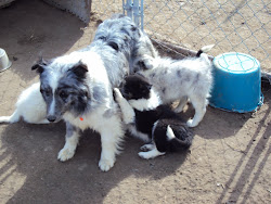 Blue Merle Mother Sheltie and Pups