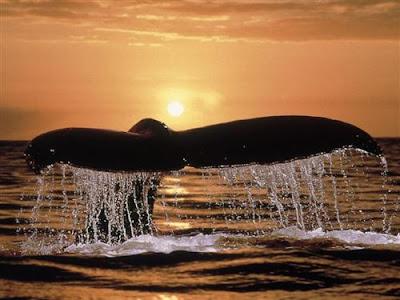 Message du peuple des Baleines 2 dans BALEINE baleine-couche-soleil