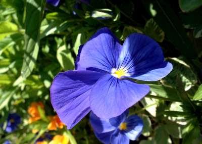Flores Amor Perfeito - Nosso amor vai durar pra sempre