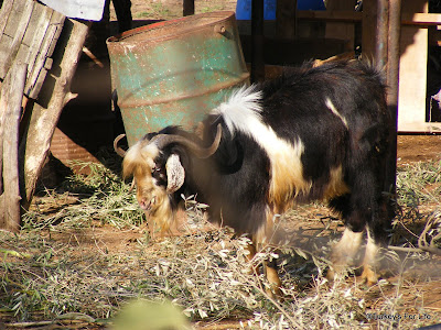 Grazing Goat at Kurban Bayram
