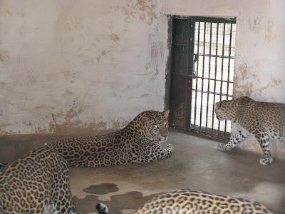 Cheetahs in Jogimatti zoo