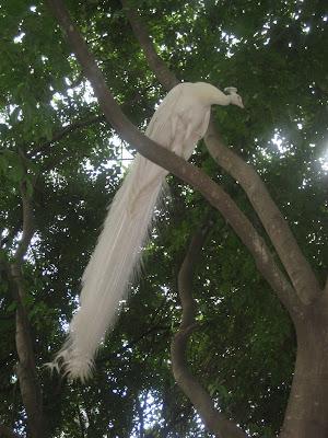 WhitePeacock.JPG, Mysore