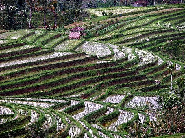 Terasasta polja  Terasasta-polja-pirinca-8