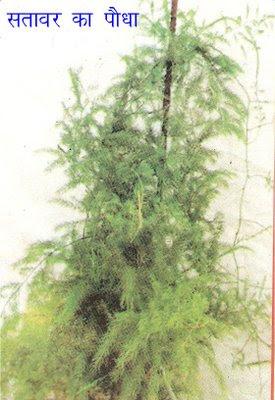 Asparagus racemosus willd shatavari