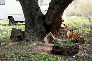 Detalle del tronco después de la poda