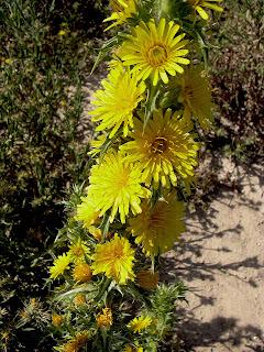 Flores de Tagarnina