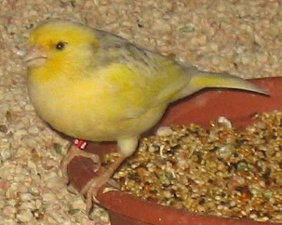 finches and canaries Bird Picture