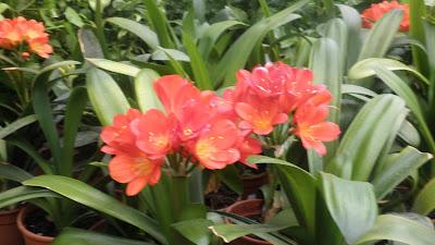 Jardinbio clivias miniata - Plantas para arriates ...