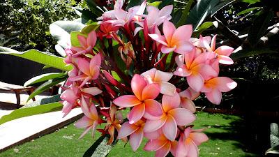 Jardinbio plumeria rubra y obtusa for Arboles de hoja perenne y crecimiento rapido para jardin