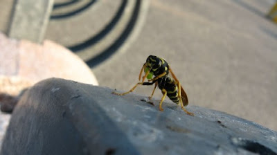 Image of a hornet
