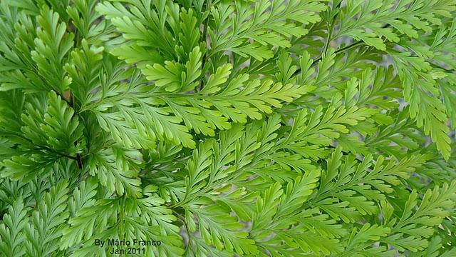 RENDA PORTUGUESA – ( Davallia fejeensis )  Detalhe da folha