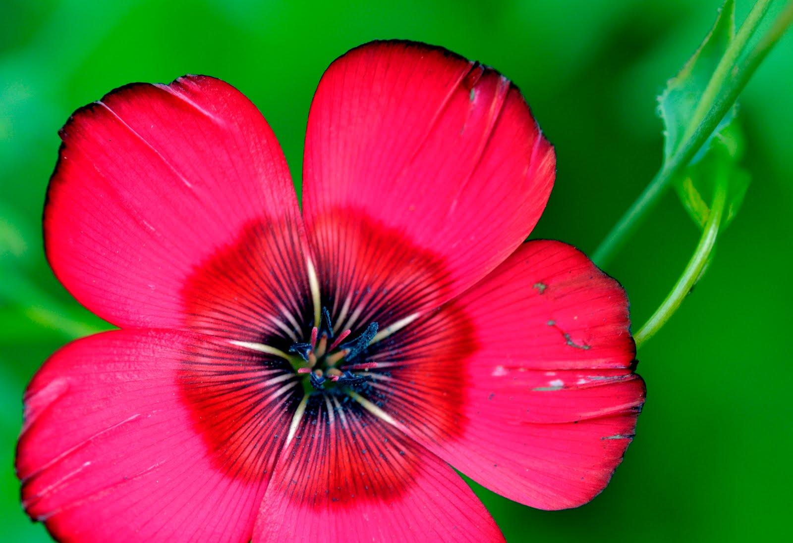 pictureway des petites fleurs de mon jardin lin rouge et fleur d 39 oranger du mexique. Black Bedroom Furniture Sets. Home Design Ideas