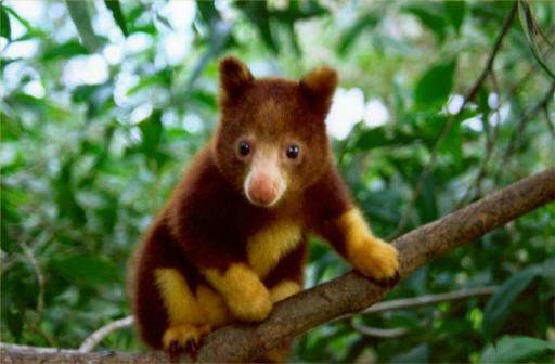 [Image: tree-kangaroo.jpg]