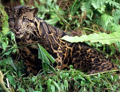 sundaland leopard