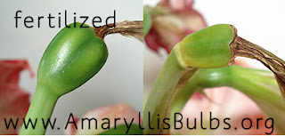 fertilized Amaryllis Bulb seed pod