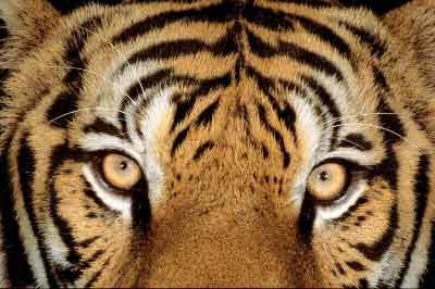 http://3.bp.blogspot.com/_ji8yQVOmD8A/Rz4OXs1IRmI/AAAAAAAAAR8/t-Ko_J47dJA/s400/TIGRE.jpg