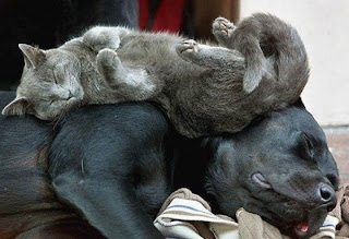 Cuddling up with friends: Cat sleeping on Dog