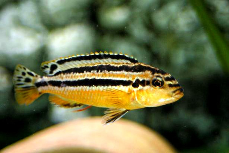 African Rift Lake Cichlids What Are Mbuna
