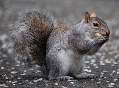 squirrel eating healthy diet of nuts