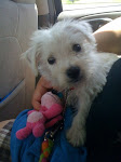 Tucker - West Highland White Terrier