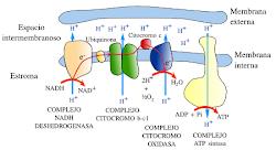 proceso de produccion de energia en la mitocondria