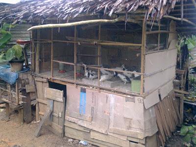 rumah burung merpati pakcik ahmad