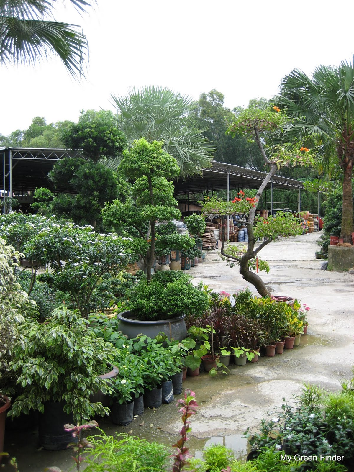 MY GREEN FINDER Plant Vendors Rumput Mutiara Landscape Amp Nursery