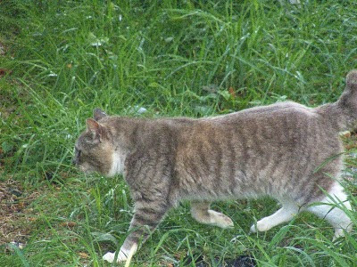 Gray Half-Tail feral tomcat runs