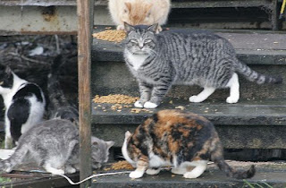 feral cats at feeding time, there are many many more that you cannot see