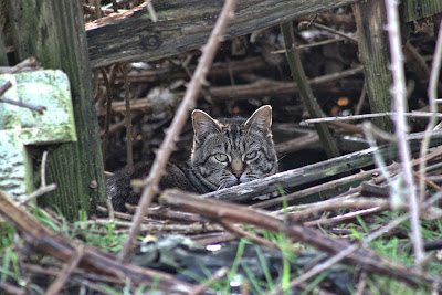 tabby tom cat tries to take a nap in the brush feral photo